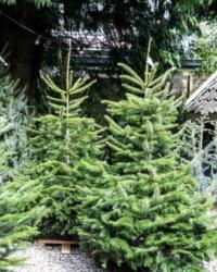 001. Weihnachtsbäume