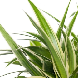 Chlorophytum comosum ´Ocean´