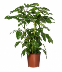 Shefflera arboricola XL