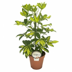 Shefflera arboricola ´Gerda´
