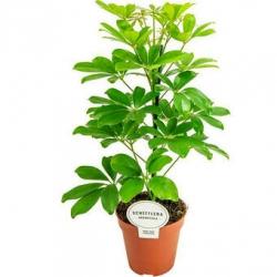 Shefflera arboricola ´Nora´