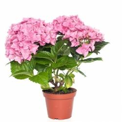 Hydrangea macrophylla Midi
