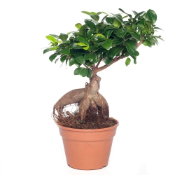 Ficus microcarpa ´Ginseng´