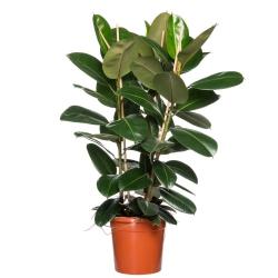 Ficus elastica ´Robusta´