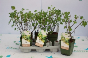 Grüne Stachelbeere