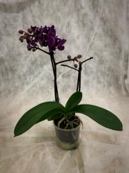 Schmetterlingsorchidee Midi