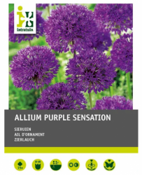 Zierlauch `Purple Sensation`