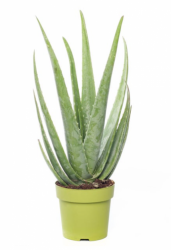 Aloe vera XL
