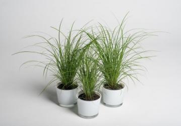 Carex Brunea