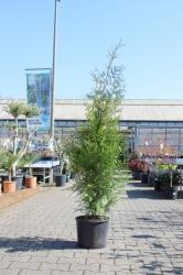 Lebensbaum Brabant