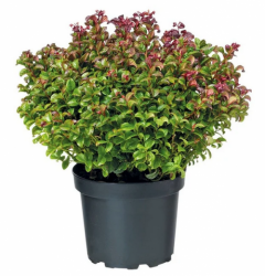 Traubenheide `Curly Red`