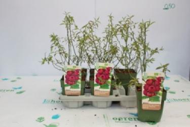 Pinke Heidelbeere