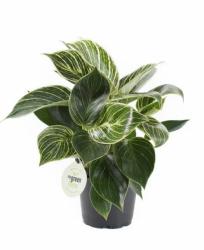 Philodendron  `White Measure`